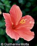 Hibiscus rosa-sinensis ´Samuel Dubin´
