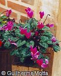 Cyclamen persicum fo. roseum