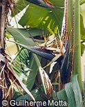 Strelitzia alba