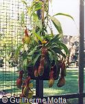 Nepenthes mirabilis