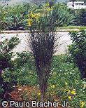 Spartium junceum
