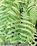 Schellolepis persicifolia