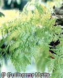Davallia fejeensis