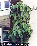 Philodendron imbe