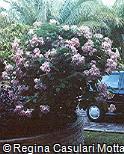Mussaenda erythrophylla ´Queen Sirikit´