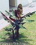 Musa acuminata var. sumatrana