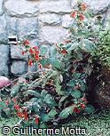 Kohleria amabilis var. bogotensis