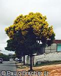 Cassia leptophylla