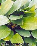 Calathea cylindrica