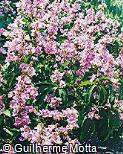Physocalymma scaberrimum