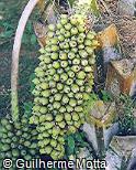 Attalea phalerata