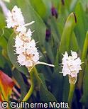 Pontederia cordata fo. albiflora