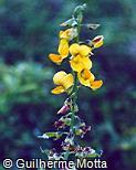 Phaseolus vulgaris ´Fradinho´