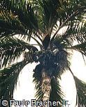 Syagrus pseudococos