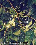 Pimenta pseudocaryophyllus