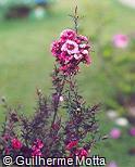 Leptospermum scoparium ´Apple Blossom´