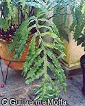 Phlebodium decumanum