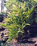 Alpinia zerumbet ´Variegata´