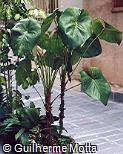 Anthurium andraeanum ´Album´