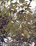 Handroanthus albus
