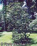 Pilocarpus spicatus var. lealii
