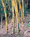 Bambusa vulgaris ´Vittata´