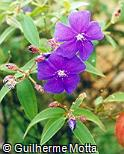 Tibouchina geitneriana