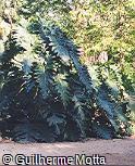 Philodendron undulatum