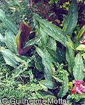 Kaempferia elegans