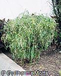 Acalypha wilkesiana ´Heterophylla´