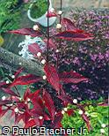 Alternanthera brasiliana ´Red Marble´