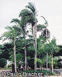 Bactris gasipaes