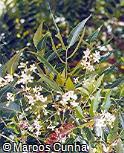 Azadirachta indica