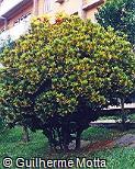 Codiaeum variegatum ´Aucubifolium´