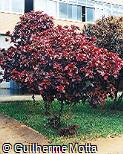 Acalypha wilkesiana ´Macafeeana´