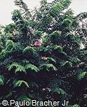 Cassia javanica