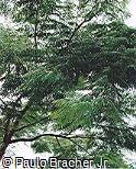 Plathymenia foliolosa