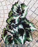 Begonia rex ´Merry Christmas´