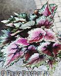 Begonia rex ´Yuletide´