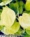Philodendron hederaceum ´Aurea´