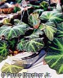 Begonia x sementacea