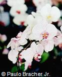 Phalaenopsis x hybridus