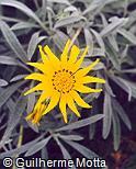 Gazania jurineifolia ´Talent´
