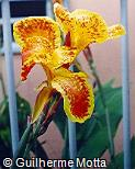 Canna × generalis ´Picasso´