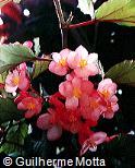 Begonia aconitifolia