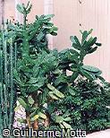 Nopalea cochenillifera