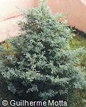 Chamaecyparis pisifera ´Snow´