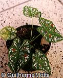 Caladium bicolor ´Florida Clown´