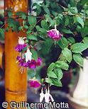 Fuchsia × hybrida ´Lena´