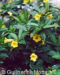 Allamanda polyantha